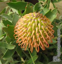 Leucospermum sp., Pincushion, Pincushion Protea  Click to see full-size image