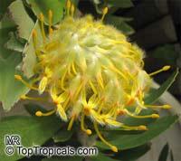 Leucospermum cordifolium - seeds  Click to see full-size image