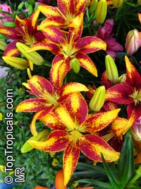 Lilium sp., Lily  Click to see full-size image