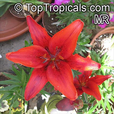 Домашние цветы лилия белые красные
