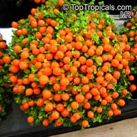 Nertera granadensis, Nertera depressa, Bead Plant, Coral MossClick to see full-size image