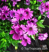 Osteospermum sp., Trailing African Daisy, Freeway Daisy, Blue Eyed Daisy  Click to see full-size image