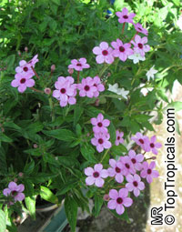 Otomeria sp., Otomeria  Click to see full-size image