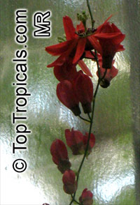 Passiflora racemosa, Red Passion Flower  Click to see full-size image