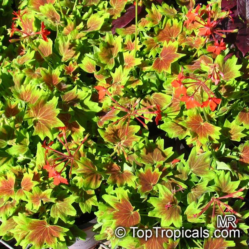 pelargonium vancouver centennial  stellar geranium
