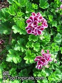Pelargonium x domesticum, Regal Geranium  Click to see full-size image