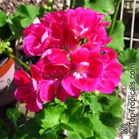 Pelargonium sp., Pelargonia, Geranium