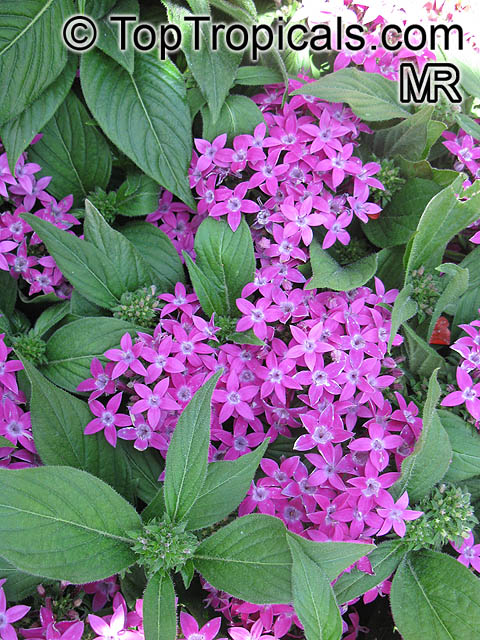 Pentas lanceolata pentas star flower star cluster toptropicals pentas lanceolata pentas star flower star cluster click to see full size mightylinksfo