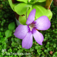 Pinguicula sp., ButterwortClick to see full-size image