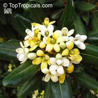Pittosporum tobira - Japanese Mockorange  Click to see full-size image