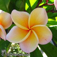 Plumeria sp., Plumeria  Click to see full-size image