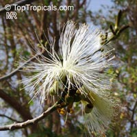 Pseudobombax ellipticum, Bombax ellipticum, Shaving Brush Tree