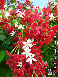 Quisqualis Indica - single flowerClick to see full-size image