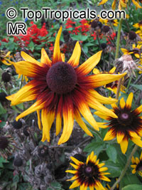 Rudbeckia sp., Black-eyed Susan, Coneflower