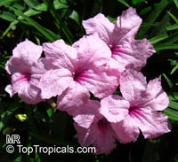 Ruellia brittoniana - Compact Pink  Click to see full-size image