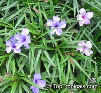Ruellia brittoniana, Mexican petunia, Mexican Blue Bell