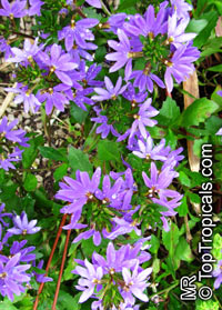 Scaevola aemula - Blue Wonder, Escabola, Fan flower  Click to see full-size image