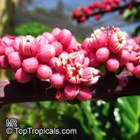 Schefflera actinophylla, Brassaia actinophylla, Tupidanthus calyptratus, Umbrella Tree, Octopus Tree  Click to see full-size image