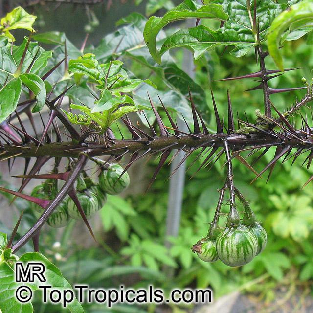 Buy fresh Solanum atropurpureum (Malevolence) seeds online ...