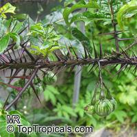 Solanum atropurpureum, Malevolence, Purple Devil  Click to see full-size image