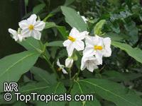 Solanum bonariense, Solanum grandiflorum, Granadillo  Click to see full-size image