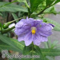 Solanum laciniatum, Kangaroo Apple  Click to see full-size image