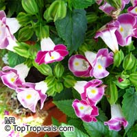 Torenia fournieri, Wishbone flower, Ladys slipper, Blue wing