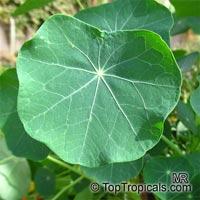 Tropaeolum majus, Tropaeolum nanum, Garden Nasturtium, Indian Cress, Monks Cress  Click to see full-size image