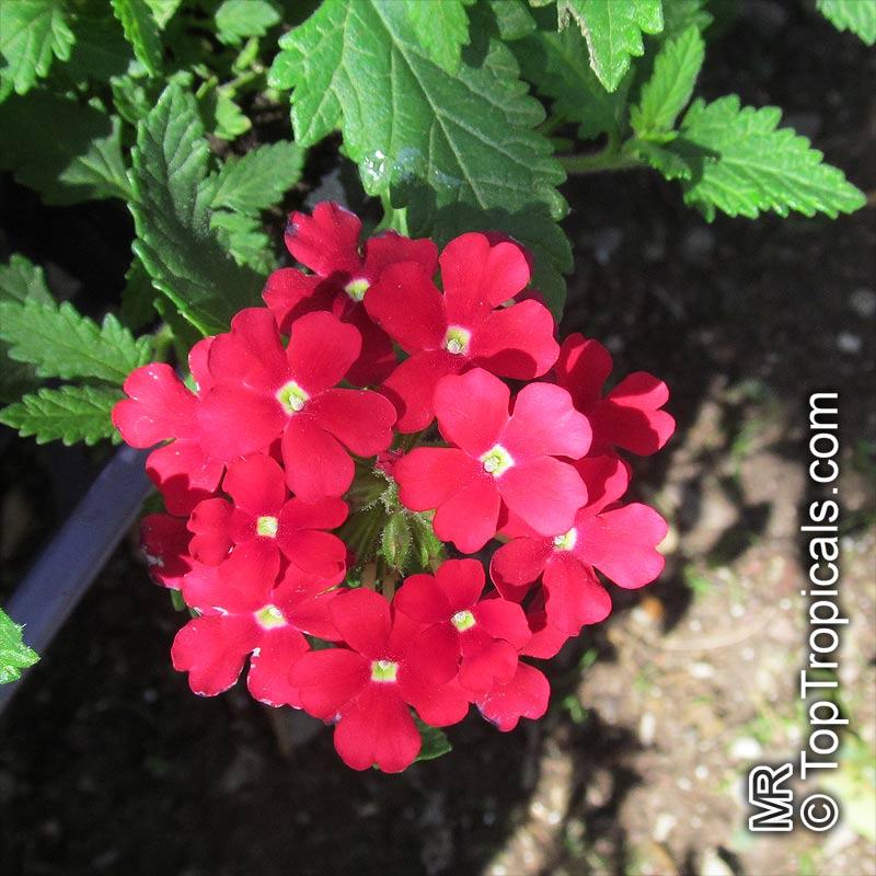 Verbena Sp Verbena Toptropicals Com