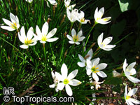 Zephyranthes sp., Fairy Lily, Zephyr Lily, Magic Lily, Atamasco Lily, Rain Lily