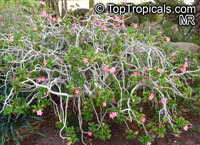 Adenium sp., Adenium, Desert Rose, Impala LilyClick to see full-size image