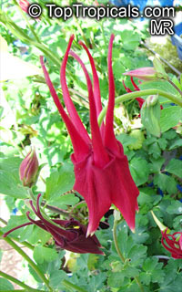 Aquilegia sp., Granny's Bonnet, Columbine