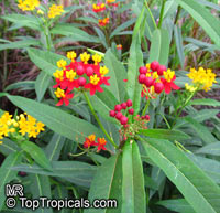 Asclepias curassavica, Milkweed  Click to see full-size image