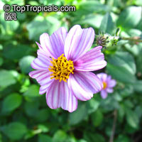 Bidens aequisquama, Pink Beggarticks  Click to see full-size image