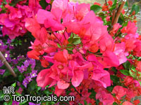 Bougainvillea sp., Bougainvillea  Click to see full-size image