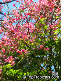 Chorisia speciosa, Ceiba speciosa, Silk Floss Tree, BombaxClick to see full-size image