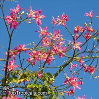 Ceiba speciosa, Chorisia speciosa, Silk Floss Tree, BombaxClick to see full-size image