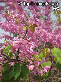 Cercis sp., Redbud  Click to see full-size image