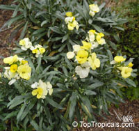 Erysimum sp., Cheiranthus sp., Wallflower  Click to see full-size image
