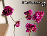 Gomphrena decumbens, Airy Bachelor Buttons  Click to see full-size image
