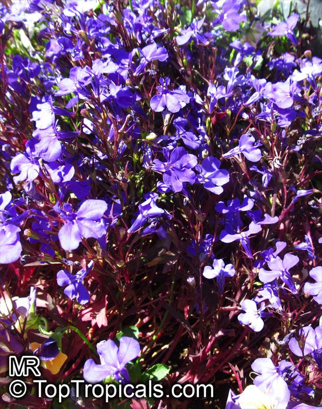 Lobelia Erinus Bellflower Toptropicalscom