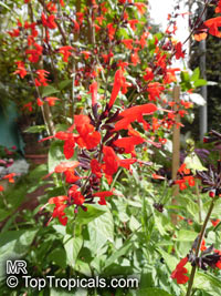 Salvia sp., Garden Sage  Click to see full-size image