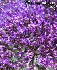 Trachelium caeruleum, Blue Throatwort  Click to see full-size image