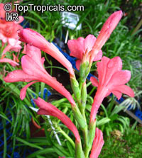 Watsonia sp., Watsonia  Click to see full-size image