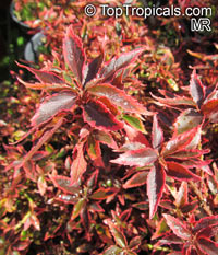 Acalypha wilkesiana, Fire Dragon Acalypha, Hoja de Cobre, Copper Leaf