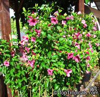 Allamanda blanchetii, Allamanda violacea, Cherry Allamanda, Purple Allamanda  Click to see full-size image