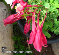 Aquilegia sp., Granny's Bonnet, ColumbineClick to see full-size image