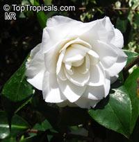 Camellia japonica, Camellia sasanqua, CamelliaClick to see full-size image