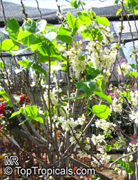 Cercis chinensis, Cercis pauciflora , Chinese Redbud Tree  Click to see full-size image