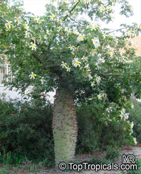 Ceiba insignis, Chorisia insignis, White Floss Silk Tree, Drunken Tree  Click to see full-size image